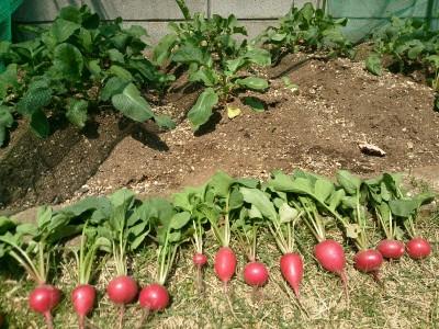 家庭菜園で無農薬野菜♪