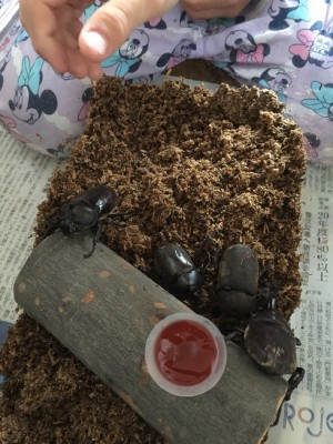 ダイソーの100均グッズでカブトムシを飼うの巻