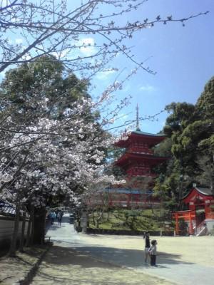 神戸の隠れ花見スポット「須磨寺」と王道「明石公園」で花見♪