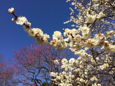 春はもうすぐそこまで!梅まつり開催!今週末のお出掛けに♪