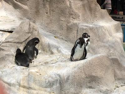 日曜日の千葉市動物公園の混雑状況 かわいいペンギンと触れ合い