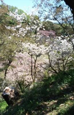 高尾で多摩森林科学園に行って、お花見!