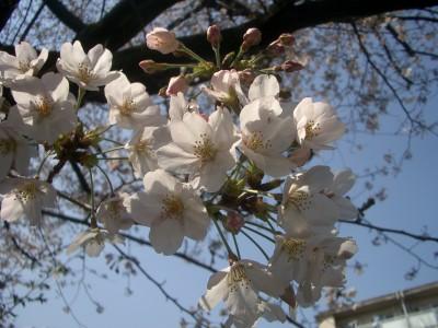 都内で登山?!一年中お花見ができる?!桜の季節におすすめ穴場スポット★
