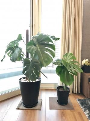 リビングのインテリアに!観葉植物を育ててみませんか?