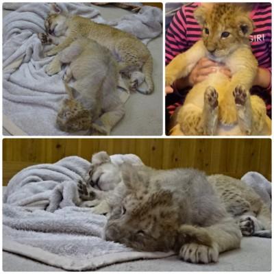 【富士サファリパーク】今だけ!?ライオンの赤ちゃんを抱っこできる