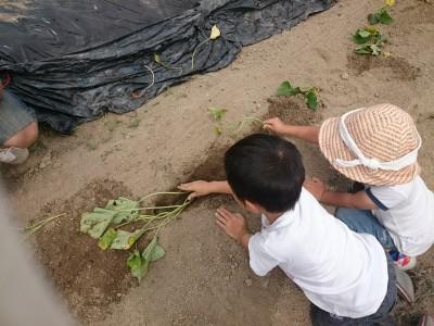 お芋は掘る前に植える!