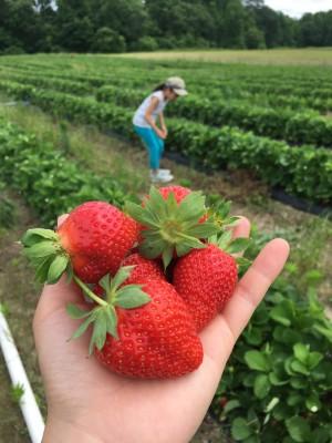 アメリカでイチゴ狩り初体験!子どもと一緒に楽しい週末♪