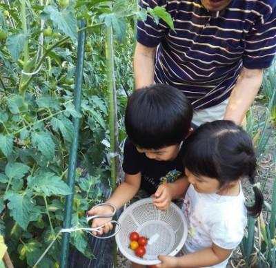 夏野菜の収穫が少しずつ‥♥幼稚園でもプチトマトの種を植付け!