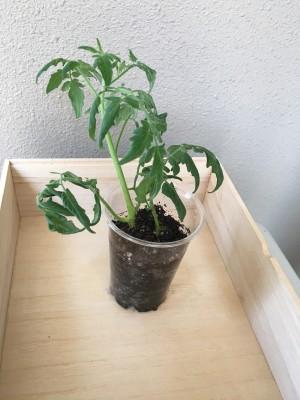プチトマトのベランダ菜園に失敗…諦めずに再生法実行!