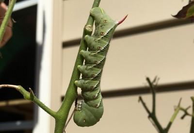 お尻に赤オレンジ色の角がある美しい緑の幼虫にうっとり。でも...(写真あり)