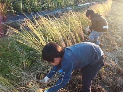 食育!稲刈り体験してきました!田植えした苗が育ったよ