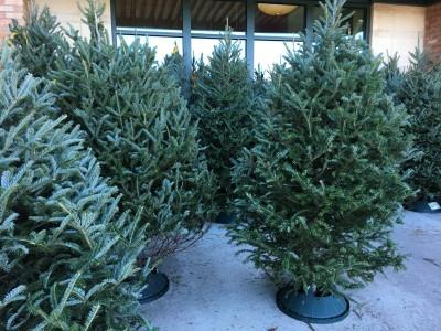 生のもみの木で本物のクリスマスツリーを毎年購入が定番、この時期の風物詩を見て思うこと