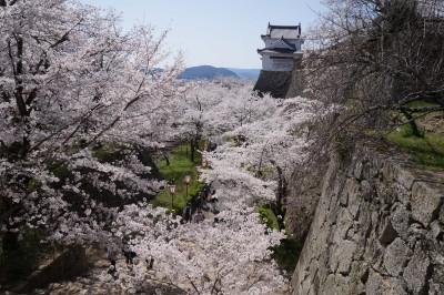 【家族で岡山旅行ラスト】桜満開!!津山城で桜を上から見るお花見