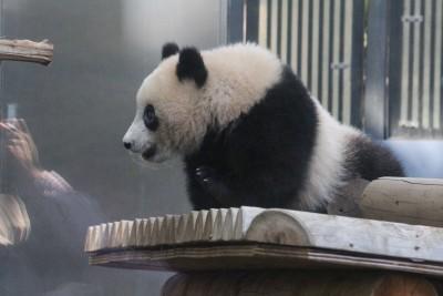 上野動物園シャンシャン赤ちゃんパンダを子連れで観覧。整理券ゲットとレポ