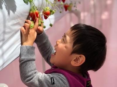 ピンクでかわいい東京ストロベリーパーク♪は一年中イチゴ狩りが楽しめる!