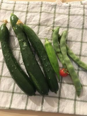 夏野菜の収穫をさせてもらいました
