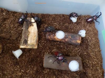 【カブトムシ飼育】44匹の幼虫が続々と成虫になり土から出てきました!!