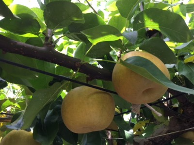 むいて食べるだけじゃもったいない!梨アレンジレシピ3選
