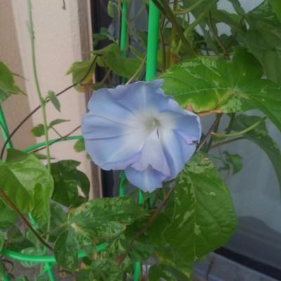 猛暑の2018年夏、9月に入ってついに初めての朝顔が咲きました!