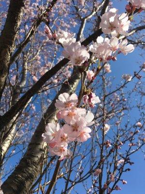 春の東京大神宮と外濠沿いの桜。お花見の季節ですね。