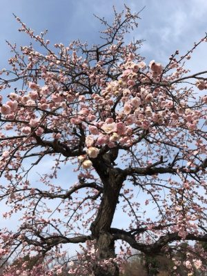 梅の香りに包まれて…春を告げる第16回大和郡山盆梅展【お花見】