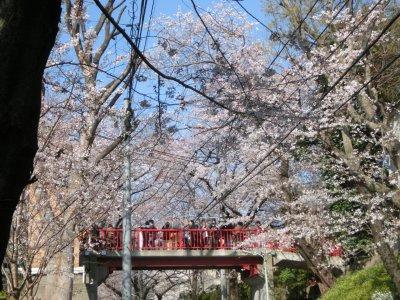 入学式、桜が散っちゃうその前に!