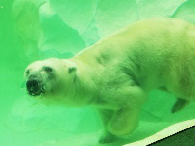 雨でも楽しめる上野動物園!家族で楽しめる!おすすめはホッキョクグマ!