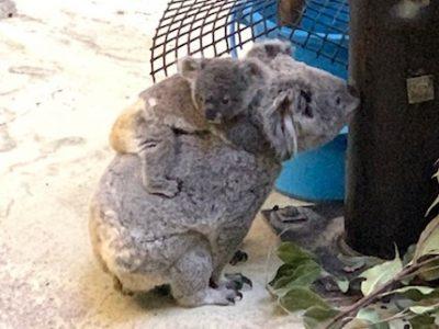 モフモフ~♪かわいすぎるコアラの赤ちゃん!冬の多摩動物園も楽しいよ!